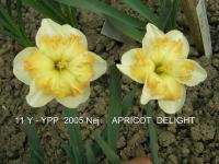 Narcissus  'Apricot Delight'  Daffodil flowers