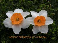Narcissus 'Apricot Distinction'  Daffodil flowers