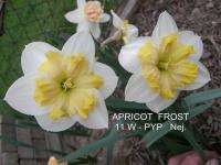 Narcissus  'Apricot Frost'  Daffodil flowers
