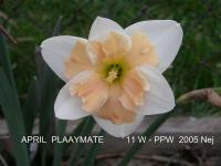 Narcissus  'April Playmate'  Daffodil flowers