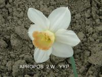 Narcissus   'Apropos' - Daffodil