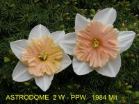 Narcissus 'Astrodome'  Daffodil flowers