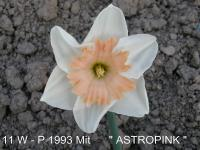 Narcissus  'Astropink'  Daffodil flowers