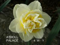 Narcissus  'Atholl Palace' - Daffodil