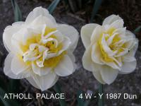 Narcissus  'Atholl Palace'  Daffodil flowers