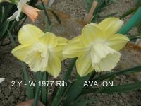 Narcissus  'Avalon'  Daffodil flowers