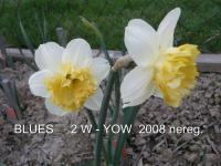 Narcissus 'Blues'  Daffodil flowers