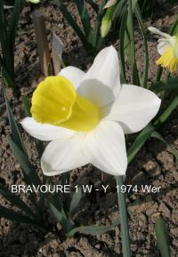 Narcissus 'Bravoure'  Daffodil flowers