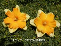 (Narcissus x hybridus) Narcis Centanneés - Collar narcisy