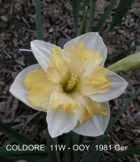 Narcissus  'Coldoree' - Daffodil