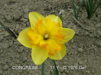 Narcissus  'Congress'  Daffodil flowers