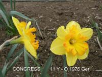 Narcissus  'Congress' - Daffodil
