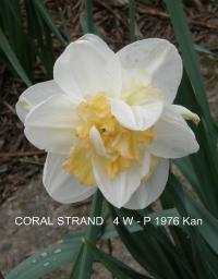 Narcissus 'Coral Strand'  Daffodil flowers