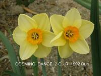 Narcissus 'Cosming Dance'  Daffodil flowers
