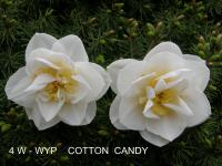 Narcissus 'Cotton Candy'  Daffodil flowers