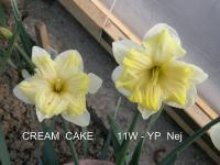 Narcissus 'Cream Cake'  Daffodil flowers