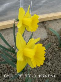Narcissus 'Cyclope'  Daffodil flowers