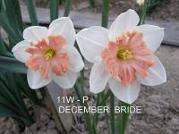 Narcissus  'December Bride'  Daffodil flowers
