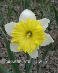 Narcissus 'Dinnerplate'  Daffodil flowers