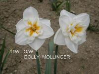 Narcissus 'Dolly Mollinger'  Daffodil flowers