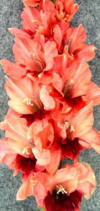 Gladiolus 'Coffee'  Gladiolus flowers