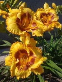 Denivka Fooled Me (Hemerocallis hybrida)