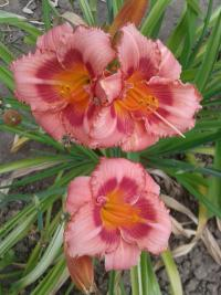 Denivka Strawberry Candy (Hemerocallis hybrida)