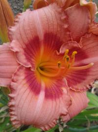 Hemerocallis    'Strawberry Candy'  Daylily flowers