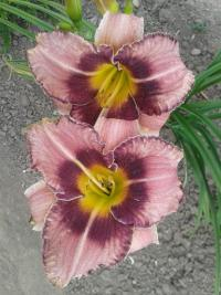 Denivka Forgotten Dreams (Hemerocallis hybrida)