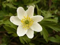 Anemone nemorosa   Wood Anemone flowers