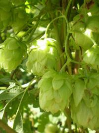 Humulus lupulus   Common Hop fruits