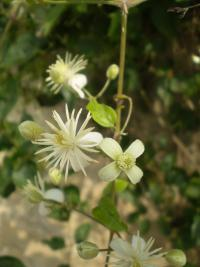 Clematis vitalba   Traveller's-joy flowers