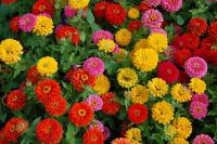 Youth-and-age Zinnia elegans  'Dreamland Mix'