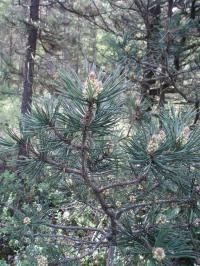 (Pinus mugo nothosubsp rotundata) Borovice blatka