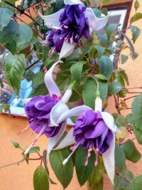 (Fuchsia) Fuchsie 'Deep Purple'